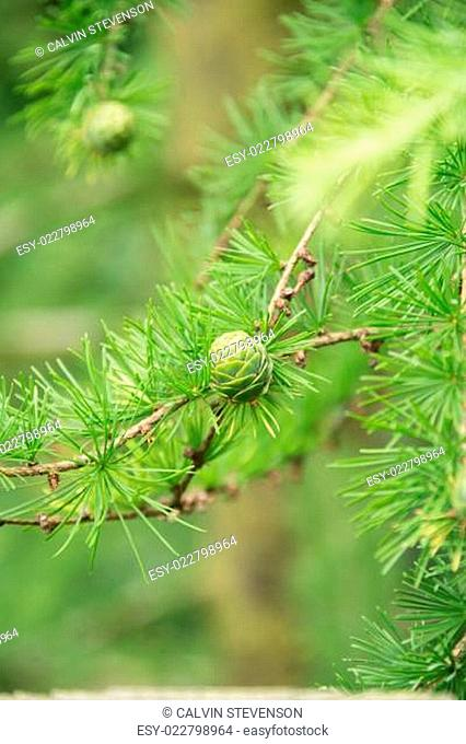 Green pine cones close-up