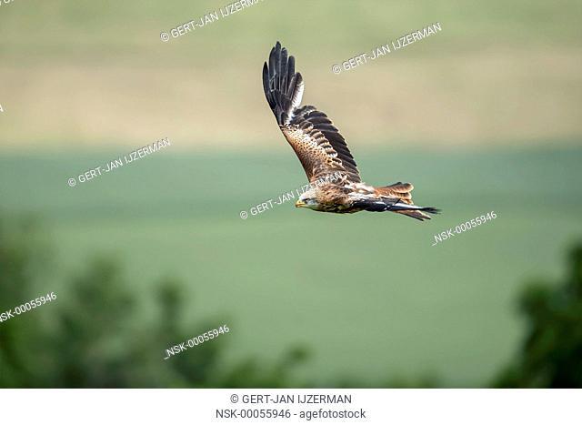 Red Kite (Milvus milvus) in flight against grassland, germany, eifel