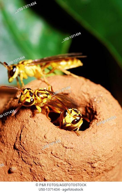 Wasp Polybia sp , Hymenoptera, Vespidae, Epiponini, Acre, Brazil, 2009