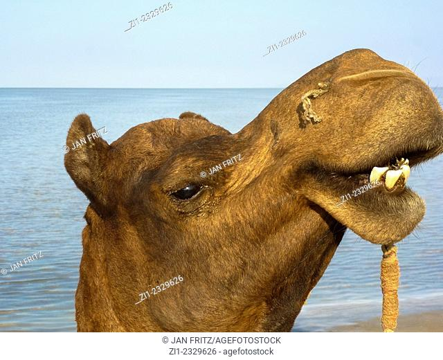 camels head at saltlake of the Ran of Kutch in Gujarat, India
