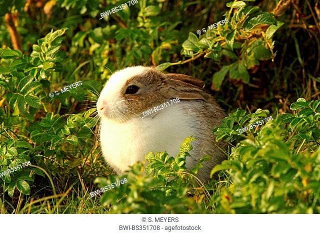 European rabbit (Oryctolagus cuniculus), in the garden, with partly white fur, partial leucism, Germany, Schleswig-Holstein, Sylt