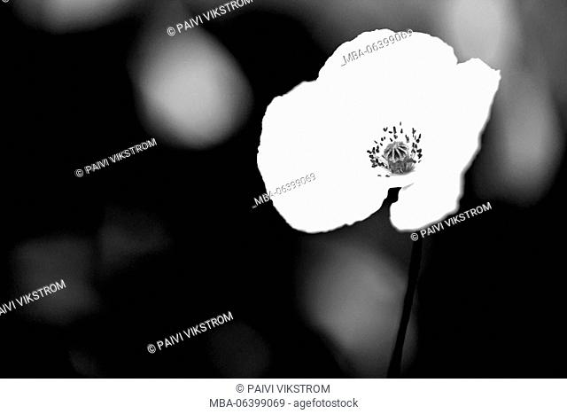 art,artistic,beautiful,beauty,black,black and white,bloom,blooming,blossom,element,field,floral,flower,garden,image,isolated,nature,plant,poppy,season,solo