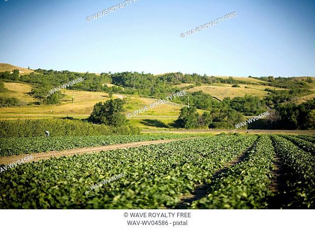 Rows of cucumbers, Lumsden, Saskatchewan, Canada