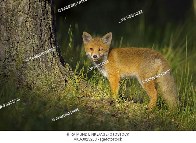 Red Fox, vulpes vulpes, Young Fox, Germany, Europe