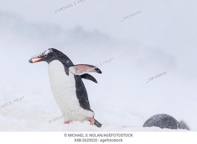 Gentoo penguin, Pygoscelis papua, returning from sea with nest rock at Port Lockroy, Antarctica
