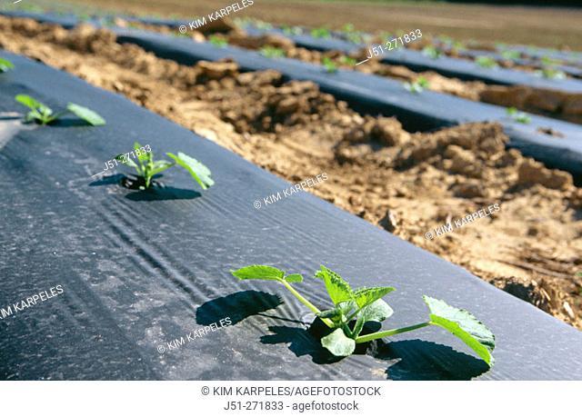 Zucchini squash seedings with black plastic. USA