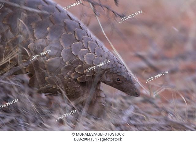 Africa, Southern Africa, South African Republic, Kalahari Desert, Ground pangolin or Temminck's pangolin or the Cape pangolin (Smutsia temminckii)