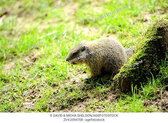 Close-up of a Alpine Marmot (Marmota marmota) youngster in a meadow in spring