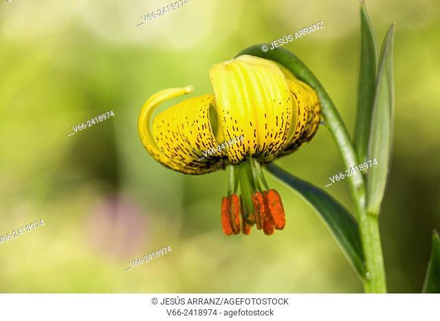 Azucena de los Pirineos (Flor de Lis)