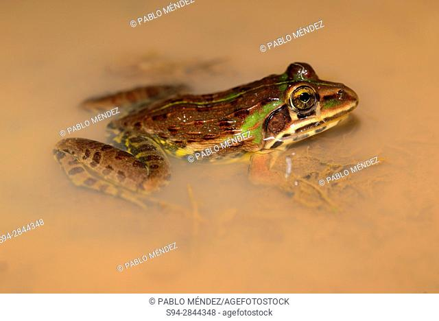 Indian bullfrog (Hoplobatrachus tigerinus) in a pond of Canacona, Goa, India