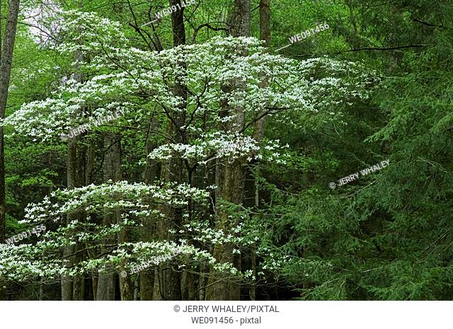 Dogwood, Spring, Cades Cove, Great Smoky Mtns NP, TN, USA