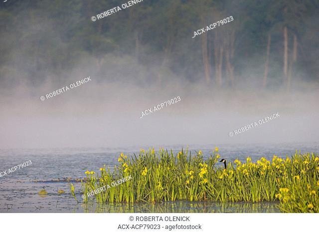 Canada goose (Branta canadensis) and yellow irises (Iris pseudacorus), Burnaby Lake, Burnaby, British Columbia. Yellow irises are a toxic