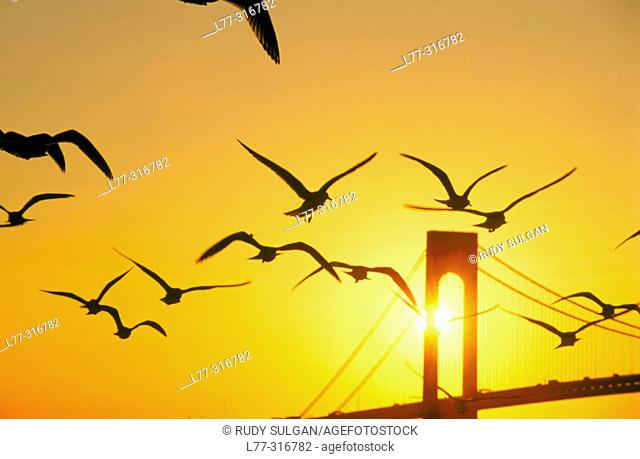Sea gulls and Verrazano-Narrows Bridge. New York City, USA
