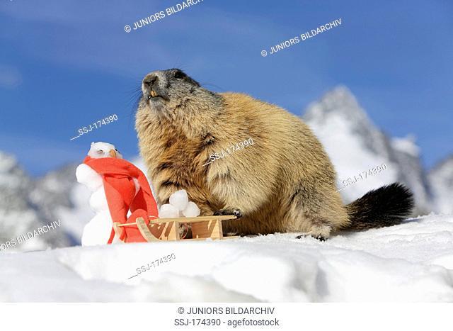 Alpine Marmot (Marmota marmota) with snowman and sledge against mountainous background