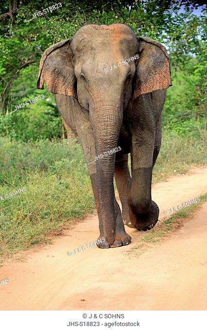 Sri Lankan Elephant, (Elephas maximus maximus), Asian Elephant, adult male walking, Udawalawe Nationalpark, Sri Lanka, Asia