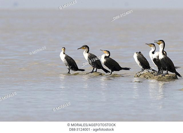 Africa, Ethiopia, Rift Valley, Ziway lake, White-breasted cormorant (Phalacrocorax lucidus), resting on a rock