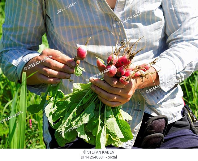 Woman harvesting radishes, Prince George County; Upper Marlboro, Maryland, United States of America