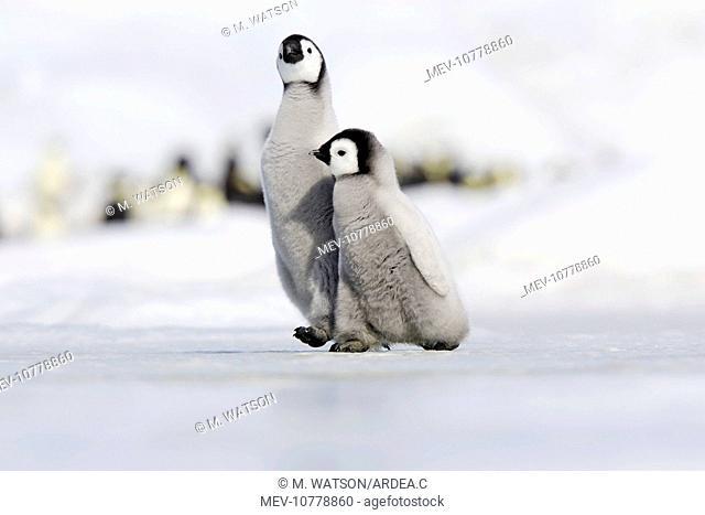 Emperor Penguin - two chicks walking across ice (Aptenodytes forsteri)