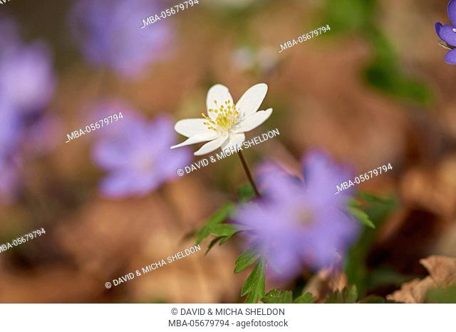 windflower, anemone nemorosa, close-up