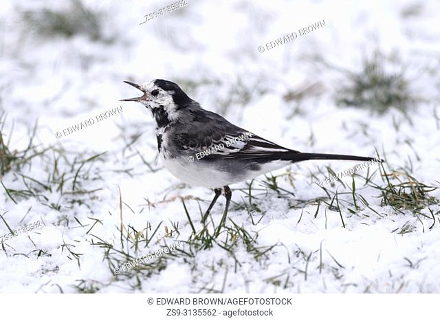 A Pied wagtail (Motacilla alba) feeds on a snow covered lawn, East Sussex, UK