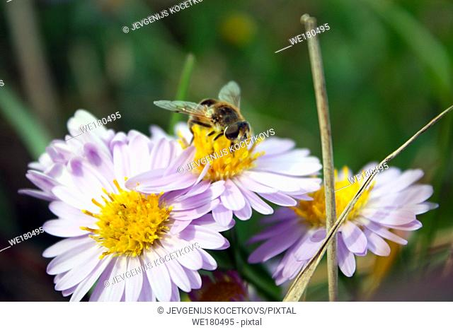 bee collects nectar on chamomile flowers. Anthophila, Apis mellifera