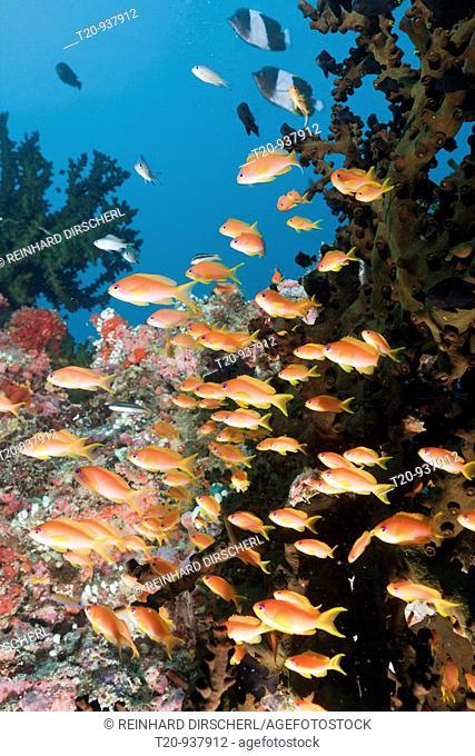Coral Reef with Anthias, Pseudanthias squamipinnis, Himendhoo Thila, North Ari Atoll, Maldives