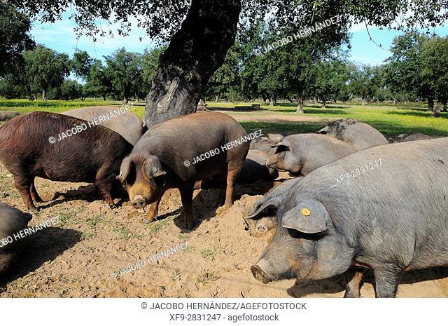 Iberian pigs in dehesa.Badajoz province.Extremadura.Spain