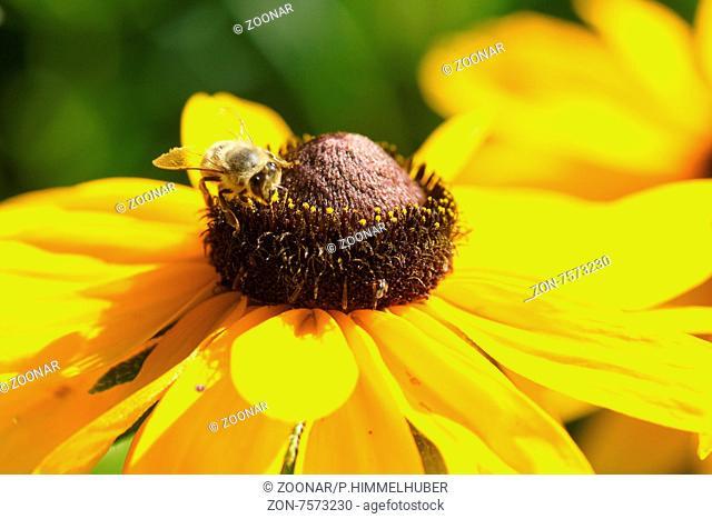 Rudbeckia hirta, Sonnenhut, Black-eyed-susan, mit Biene