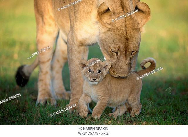 Lioness with cub, Masai Mara, Kenya, East Africa, Africa