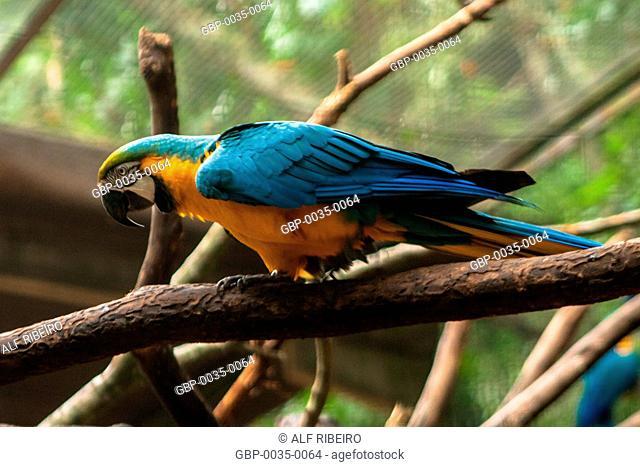 Park Aves; Arara Caninde; Ara ararauna; Foz do Iguaçu, PR; Paraná; Brazil
