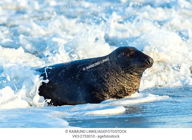 Grey Seal, Halichoerus grypus, Male in Surf, Europe