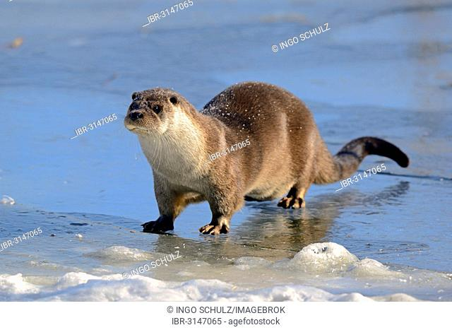 European Otter (Lutra lutra) on a frozen pond in winter