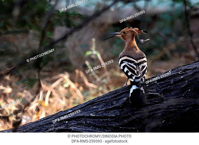hoopoe bird, thol, Gujarat, India, Asia