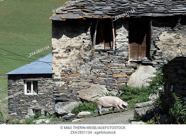 Pig in front of Traditional medieval Svanetian tower houses, Ushguli village, Svaneti region, Georgia, Caucasus, Middle East, Asia, Unesco World Heritage Site