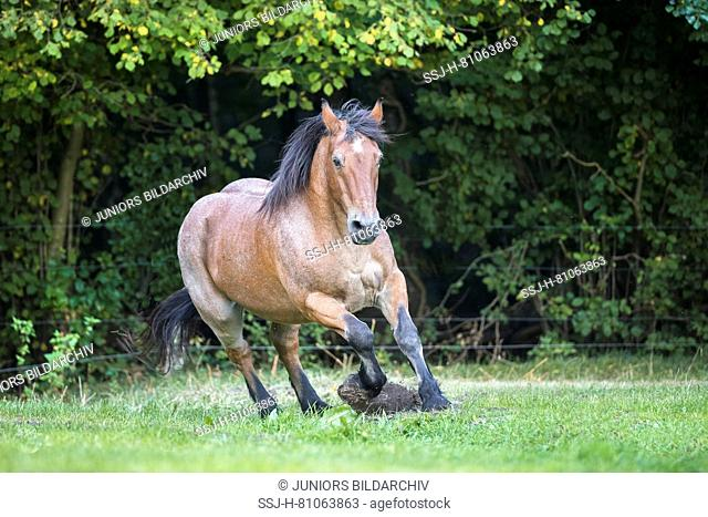 Rhenish-German Cold-Blood. Strawberry roan gelding galloping on a pasture. Germany