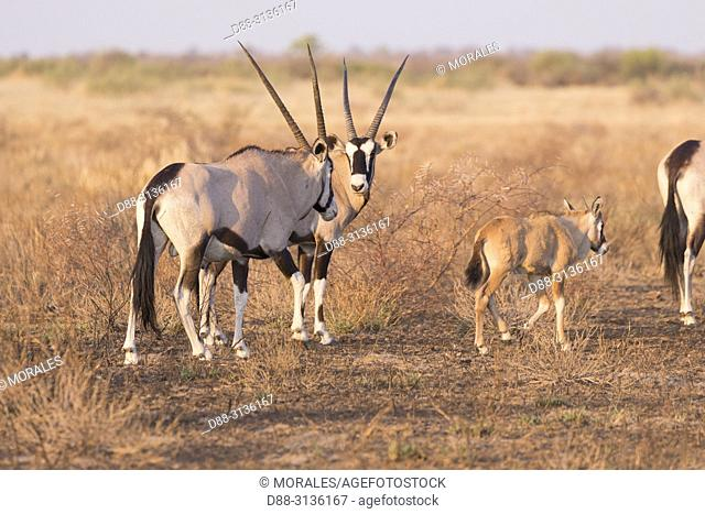 Africa, Southern Africa, Bostwana, Central Kalahari Game Reserve, Oryx gazelle, or gemsbok (Oryx gazella), adults and youngs