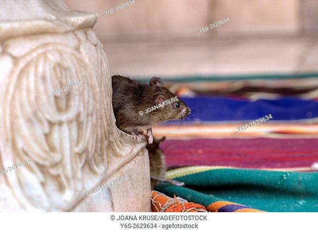 Karni Mata Temple, Temple of rats, Deshnoke, Bikaner, Rajasthan, India