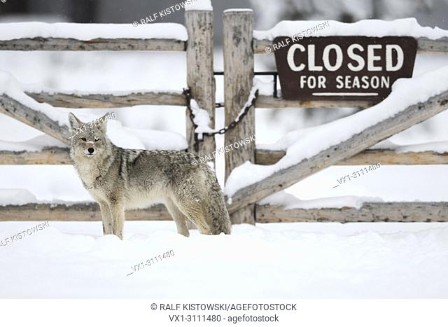 Coyote / Kojote ( Canis latrans ) standing in front of a wooden gate, closed for winter season, funny situation, lots of snow, Yellowstone NP, USA.