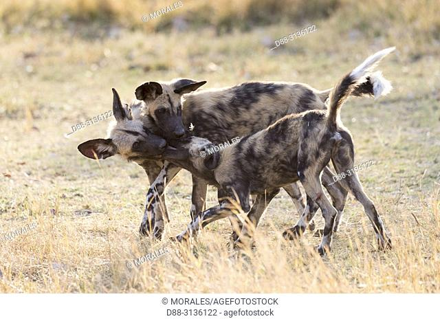 Africa, Southern Africa, Bostwana, Moremi National Park, African wild dog or African hunting dog or African painted dog (Lycaon pictus), group