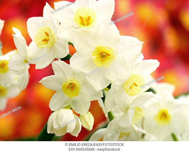 Daffodils, Narcissus hybr