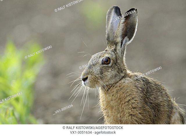Brown Hare / European Hare ( Lepus europaeus ), close up, head shot, sitting on a corn field, nice backlight situation. .