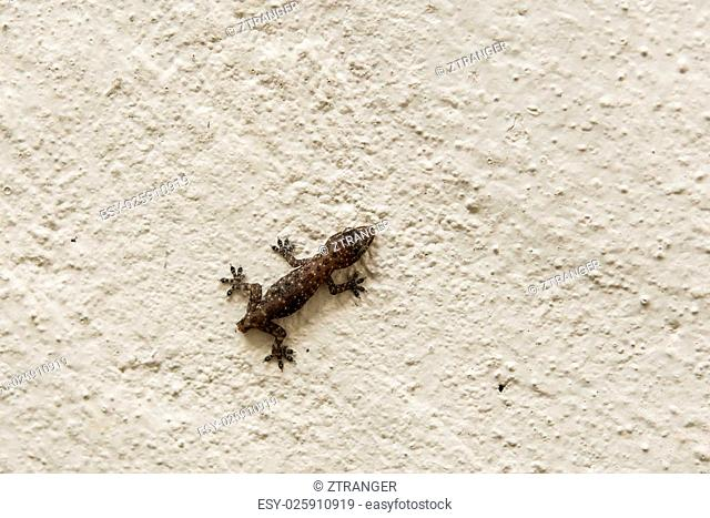 Close up baby lizard climbing wall without tail