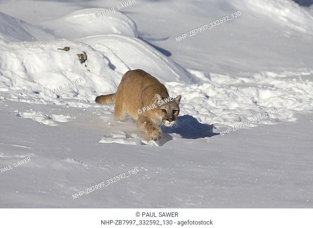 Puma (Felis concolor) adult stalking prey in snow, Montana, USA, October, controlled subject