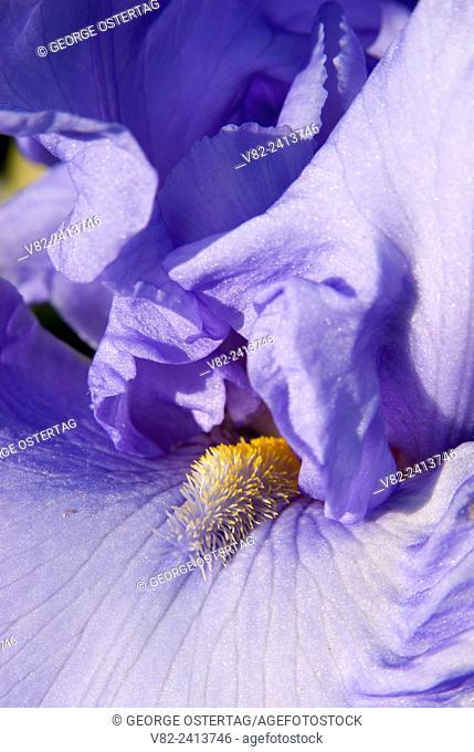 Iris in display garden, Schreiners Iris Gardens, Keizer, Oregon