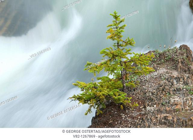 Tree along Kicking Horse River, Yoho National Park, British Columbia, Canada