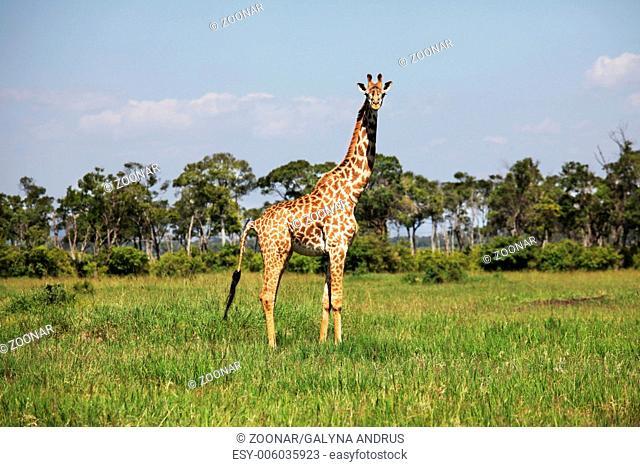 Girafe in grass