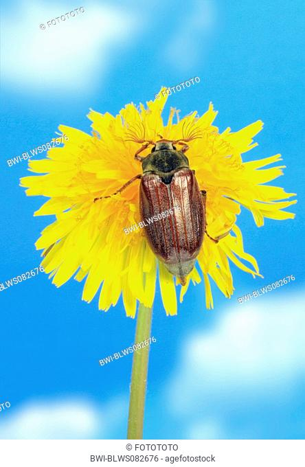 common cockchafer, maybug Melolontha melolontha, on common dandelion blossom, Germany