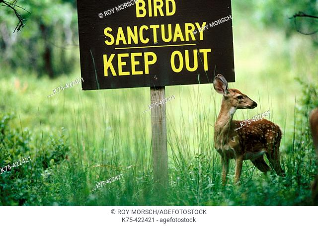 White-tailed Deer (Odocoileus virginianus). Northeastern USA