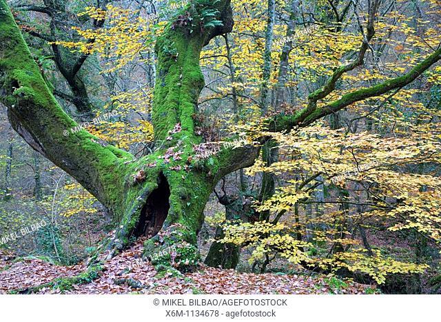 beechwood in fall  Ucieda Valley  Ruente  Cabuerniga Valley  Saja-Besaya Natural Park, Cantabria, Spain, Europe