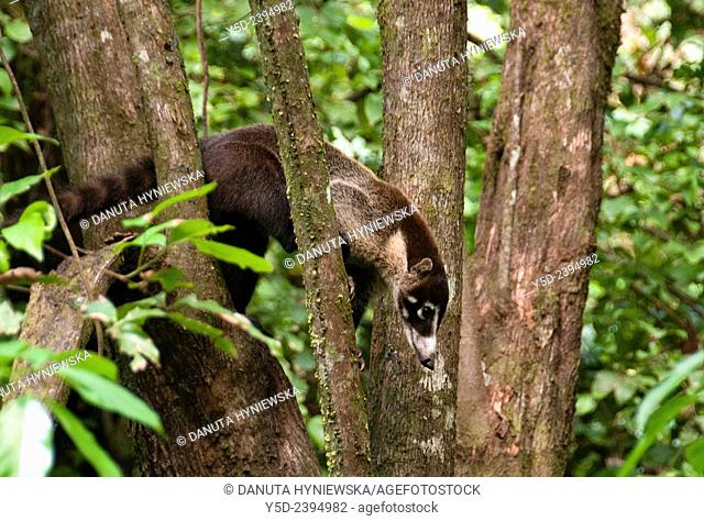 White-nosed Coati Nasua narica on tree in Corcovado National Park, Costa Rica